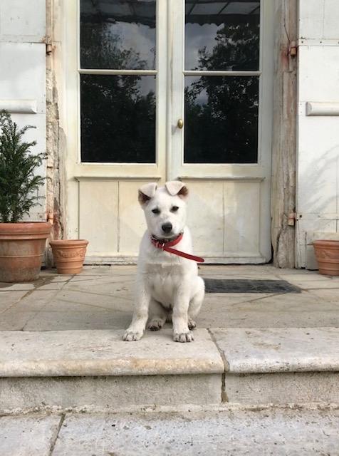 chateau de chauvaux puppy bobby churchill shepperd dog